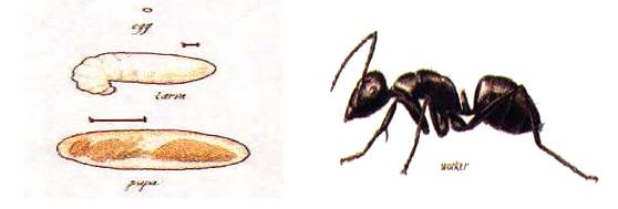 carpenter_ants